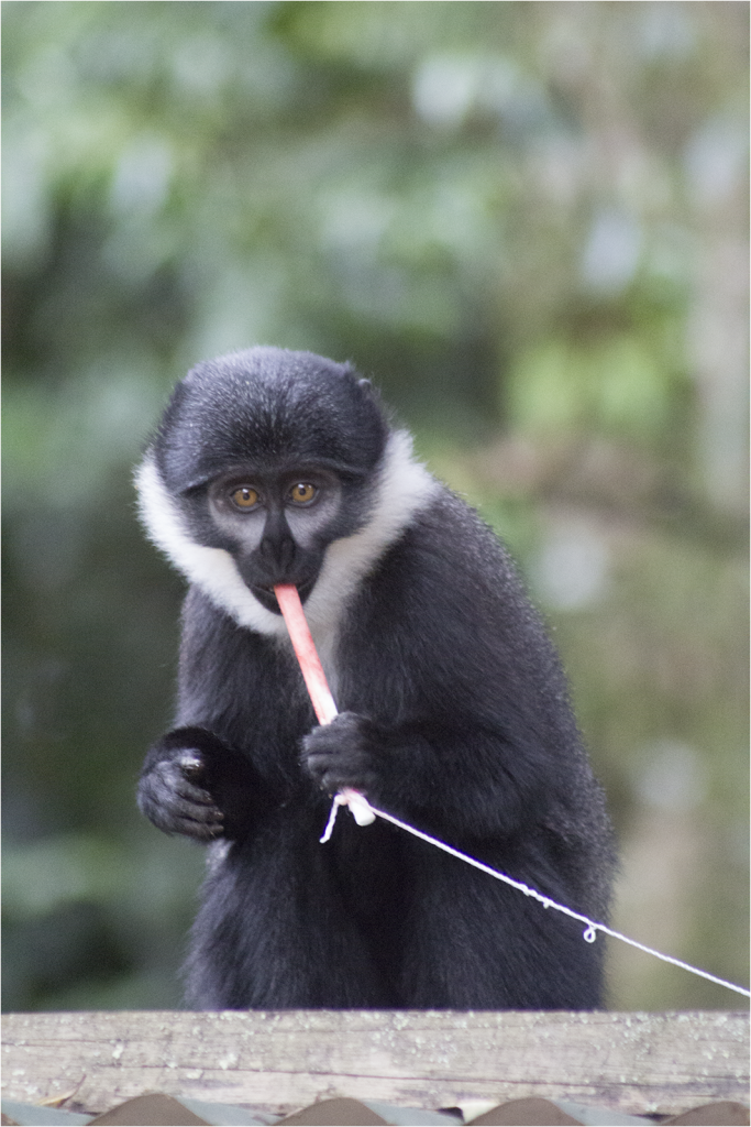L'hoest's monkey in Bwindi Impenetrable Forest region, Uganda with nylon oral swab rope and attached retrieval string. (Photo by T. Smiley Evans)