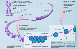 Figure 1. Epigenetic mechanisms, including DNA methylation and histone modification. Photo courtesy of National Institutes of Health via Wikimedia.