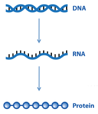The central dogma.