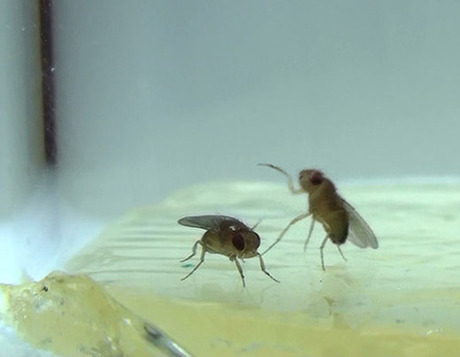 A male flies prepares to lunge at a second male fly, a stereotypically aggressive behavior that can be detected by automated software developed in David Anderson's lab. Source