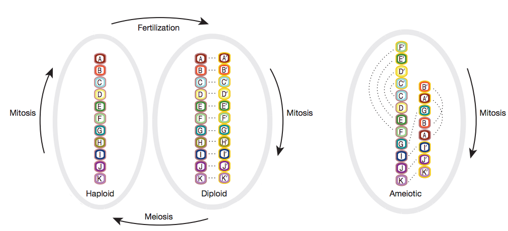 Fig 2. Conventional vs Nonconventional Genome Structures. Each block represents genes and dotted lines represent allelic gene pairs. The normal genome structure of animals (left) who undergo sexual reproduction perform both mitosis and meiosis. The genome structure of a particular bdelloid rotifer (right) undergo mitosis exclusively. Because its alleles are scattered intrachromatically, bdelloid rotifer chromosomes do not have homologous pairs. Source.