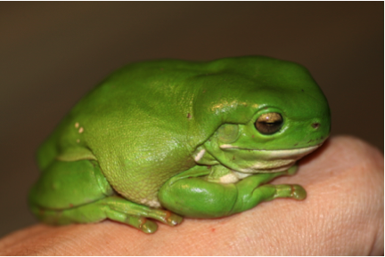 Green tree frog. Emily via Flickr http://tinyurl.com/gv4jk2b