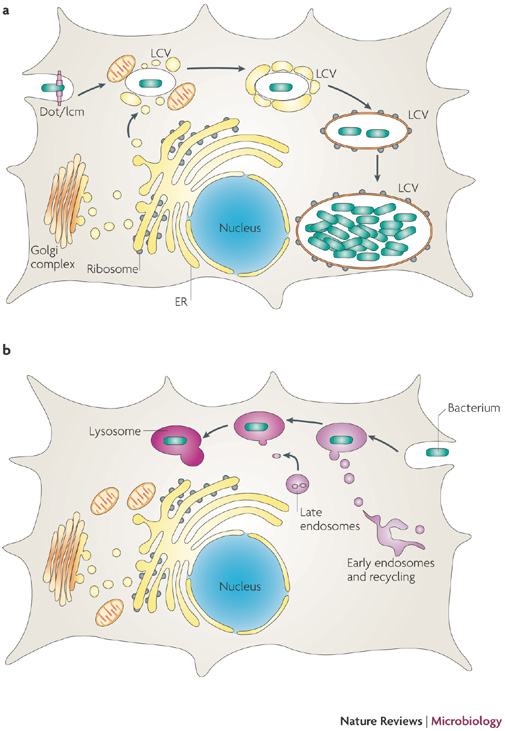 Fig. 1: Legionella and phagosome-lysosome fusion. A: Basic schematic of the formation of the Legionella Containing Vacuole (LCV). B: Standard schematic of effective phagosome-lysosome fusion to contain a bacterium.