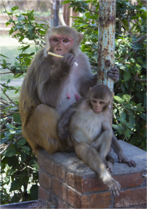 Rhesus macaque from Thapatali temple complex with nylon oral swab rope. (Photo by T. Smiley Evans)